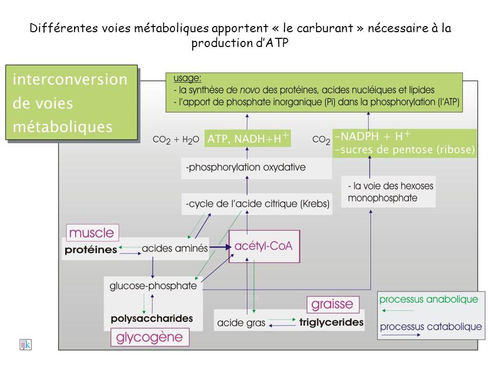 Différentes voies métaboliques apportent « le carburant » nécessaire à la production dATP