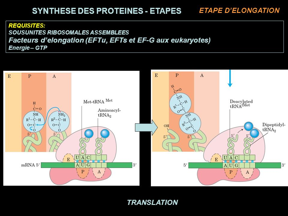 TRANSLATION REQUISITES: SOUSUNITES RIBOSOMALES ASSEMBLEES Facteurs delongation (EFTu, EFTs et EF-G aux eukaryotes) Energie – GTP SYNTHESE DES PROTEINES - ETAPES ETAPE DELONGATION