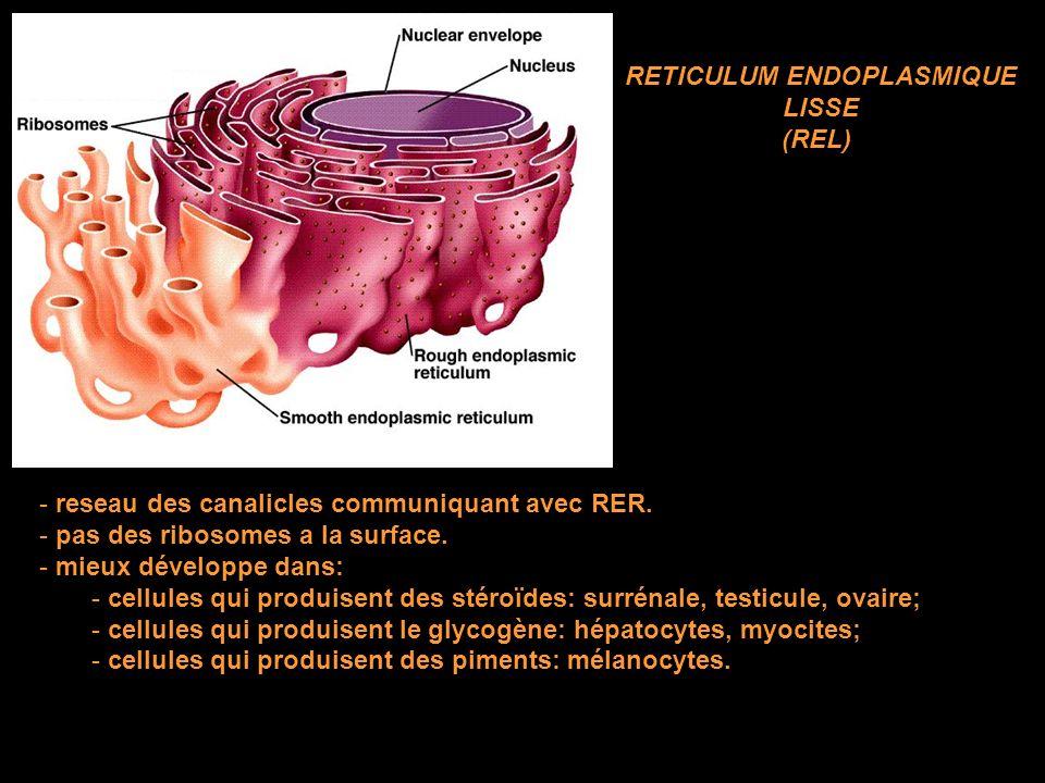 - reseau des canalicles communiquant avec RER.- pas des ribosomes a la surface.