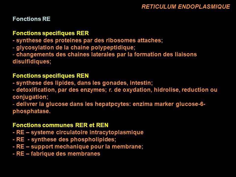 Fonctions RE Fonctions specifiques RER - synthese des proteines par des ribosomes attaches; - glycosylation de la chaine polypeptidique; - changements des chaines laterales par la formation des liaisons disulfidiques; Fonctions specifiques REN - synthese des lipides, dans les gonades, intestin; - detoxification, par des enzymes; r.