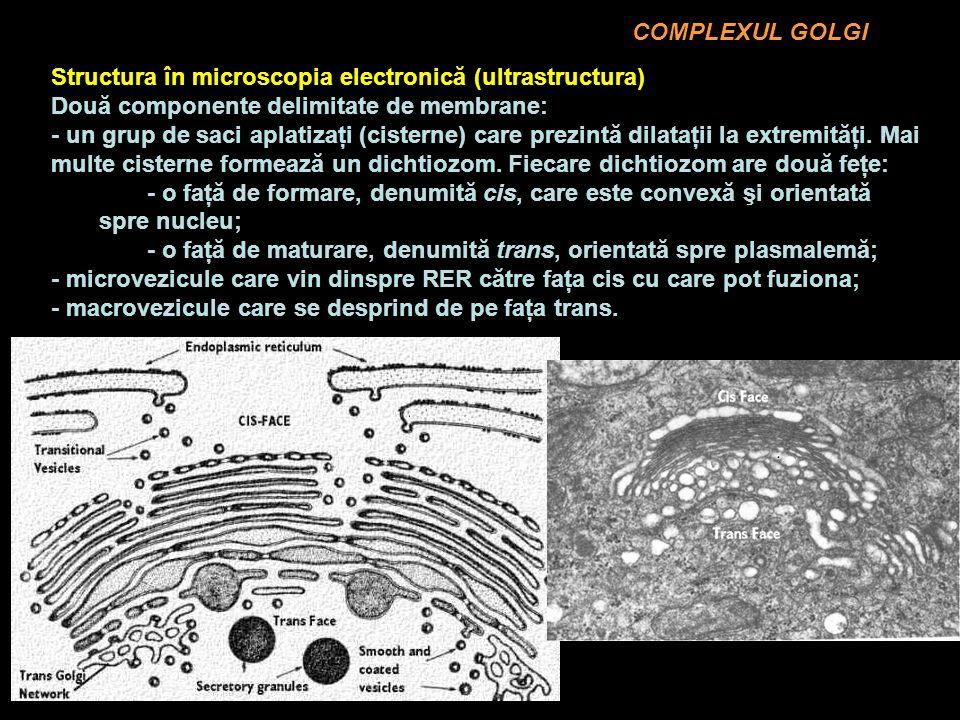 COMPLEXUL GOLGI Structura în microscopia electronică (ultrastructura) Două componente delimitate de membrane: - un grup de saci aplatizaţi (cisterne) care prezintă dilataţii la extremităţi.