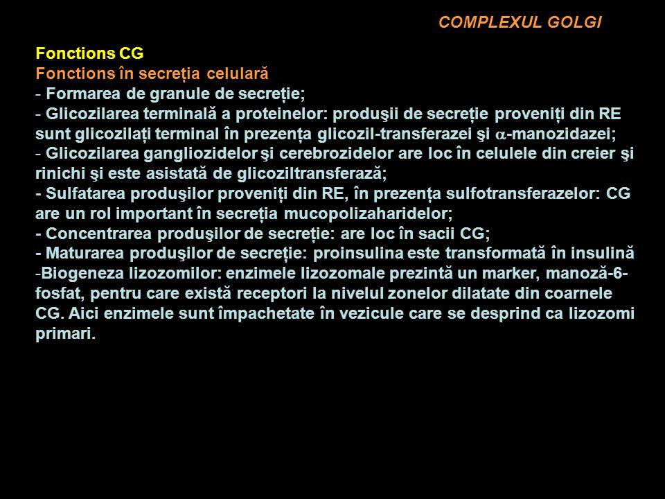 COMPLEXUL GOLGI Fonctions CG Fonctions în secreţia celulară - Formarea de granule de secreţie; - Glicozilarea terminală a proteinelor: produşii de secreţie proveniţi din RE sunt glicozilaţi terminal în prezenţa glicozil-transferazei şi -manozidazei; - Glicozilarea gangliozidelor şi cerebrozidelor are loc în celulele din creier şi rinichi şi este asistată de glicoziltransferază; - Sulfatarea produşilor proveniţi din RE, în prezenţa sulfotransferazelor: CG are un rol important în secreţia mucopolizaharidelor; - Concentrarea produşilor de secreţie: are loc în sacii CG; - Maturarea produşilor de secreţie: proinsulina este transformată în insulină -Biogeneza lizozomilor: enzimele lizozomale prezintă un marker, manoză-6- fosfat, pentru care există receptori la nivelul zonelor dilatate din coarnele CG.