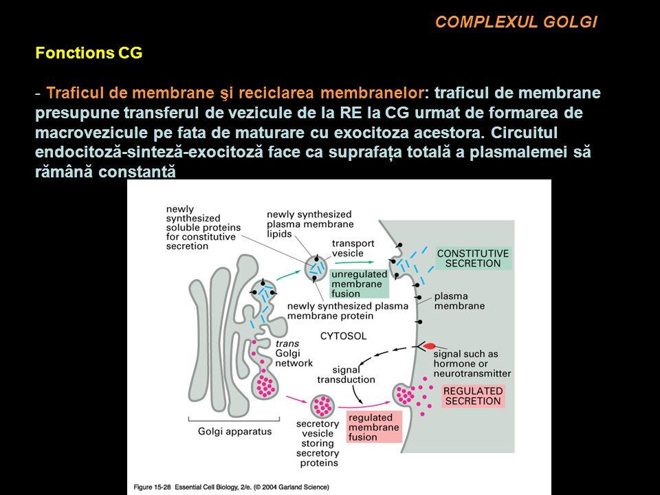 COMPLEXUL GOLGI Fonctions CG - Traficul de membrane şi reciclarea membranelor: traficul de membrane presupune transferul de vezicule de la RE la CG urmat de formarea de macrovezicule pe fata de maturare cu exocitoza acestora.