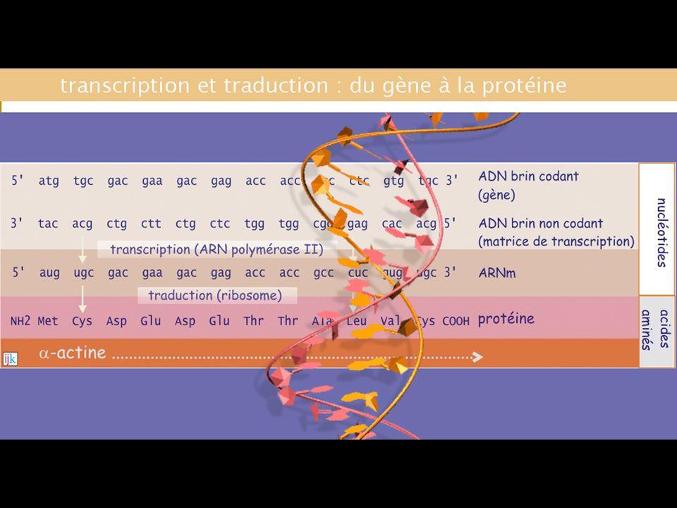 ETAPE DINITIATION 3 ETAPES PRINCIPALES – INITIATION, ELONGATION, TERMINAISON 2 ETAPE ACCESOIRES – PRESYNTHETIQUE + POSTSYNTHETIQUE SYNTHESE DES PROTEINES - ETAPES