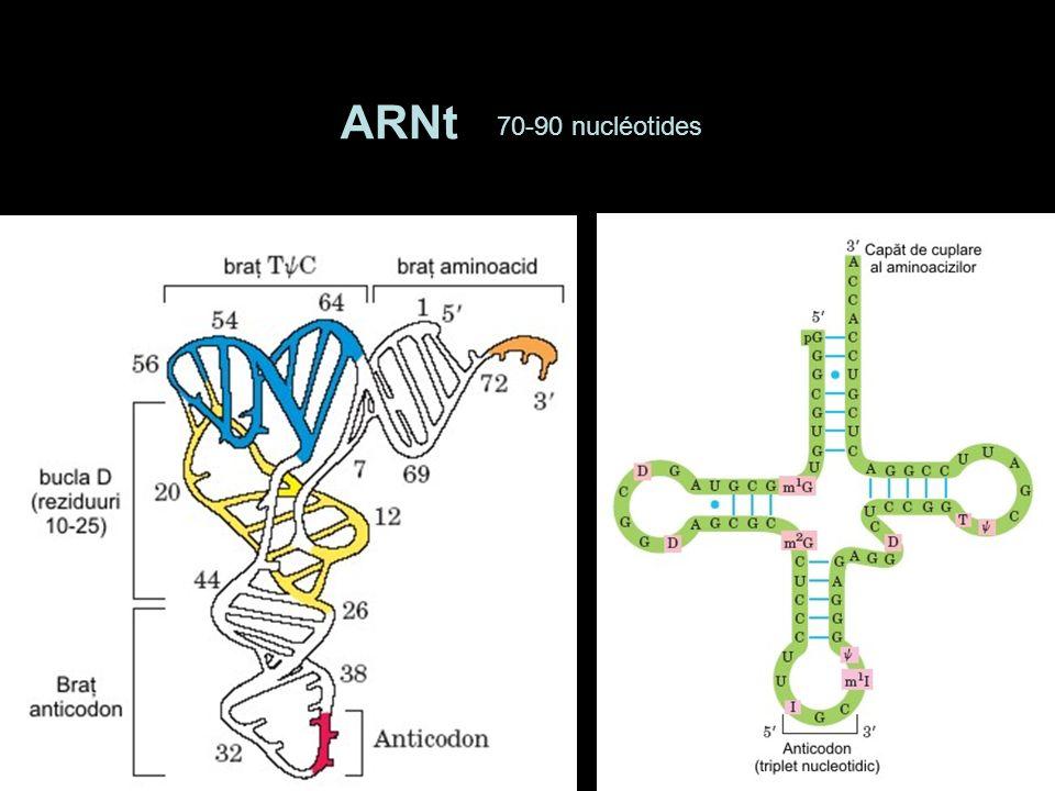 RETICULUM ENDOPLASMIQUE RUGUEUX (RER) MO - formation basophile perinucleaire.