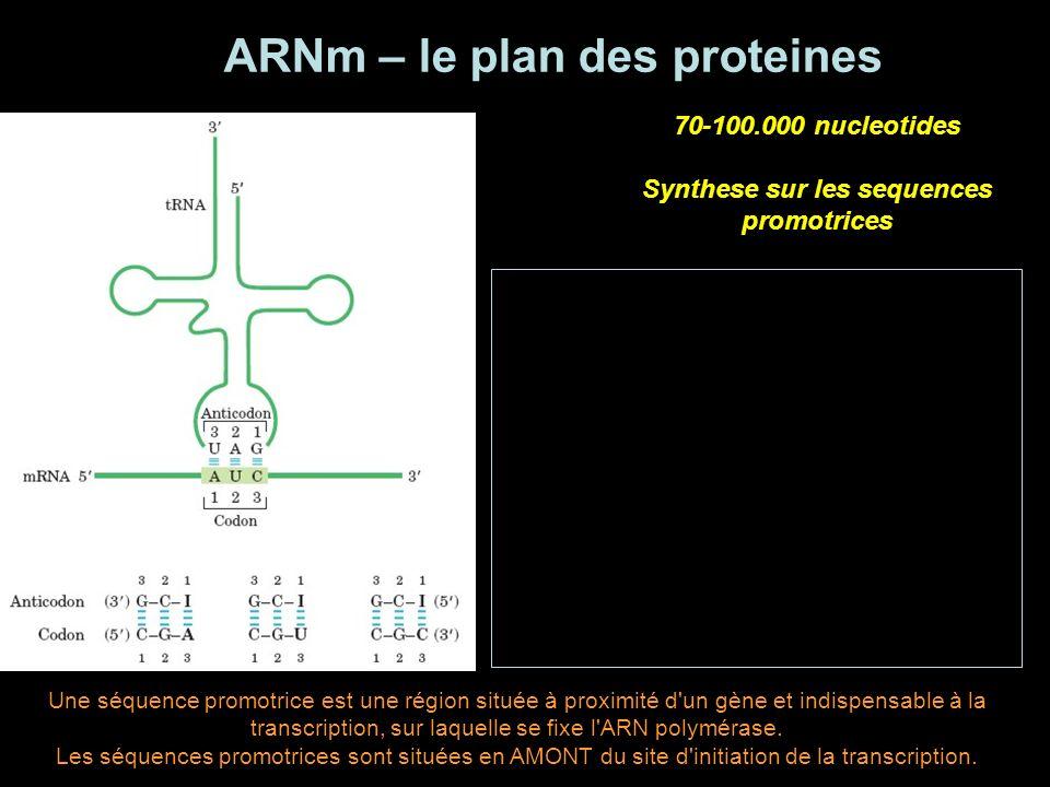 LIRE lARNm ARNm - ARNt - antiparalelles Sens 5-3 3 nucleotides groupees - CODON CODE GENETIQUE - DEGENERE 4 nucleotides 3 possibilites de combinaison 64 combinaisons possibles 3 codons stop 61 combinaisons possibles pour 20 aminoacides HYPOTHESE WOBBLE