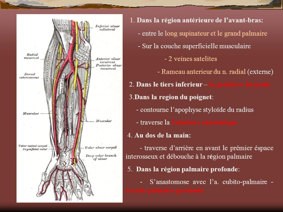 1. Dans la région antérieure de lavant-bras: - entre le long supinateur et le grand palmaire - Sur la couche superficielle musculaire - 2 veines satel