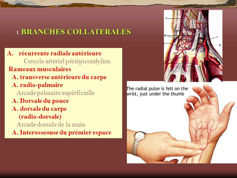 BRANCHES COLLATERALES 1. BRANCHES COLLATERALES A.récurrente radiale antérieure Cerccle artériel périépicondylien Rameaux musculaires A. transverse ant