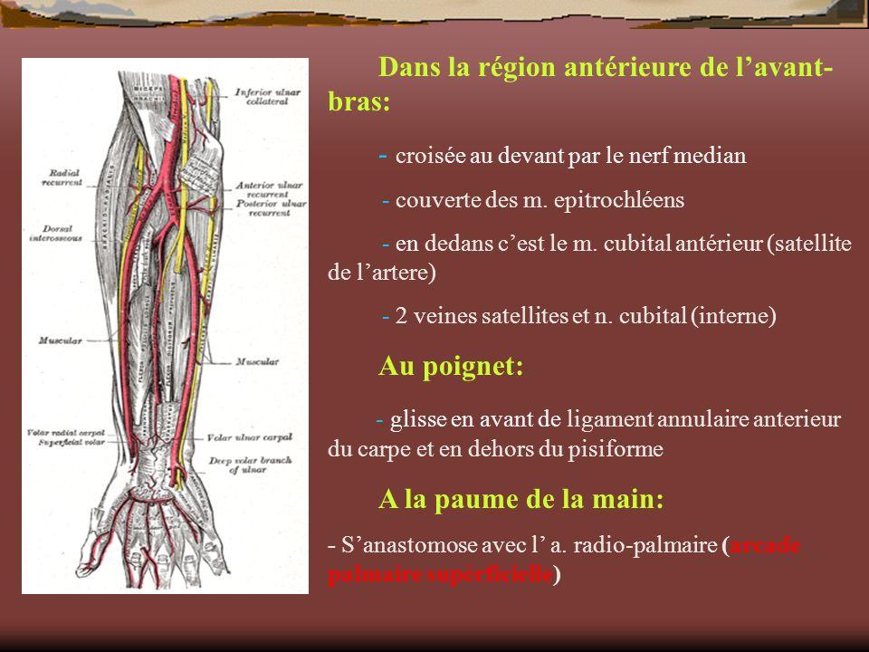 Dans la région antérieure de lavant- bras: - croisée au devant par le nerf median - couverte des m. epitrochléens - en dedans cest le m. cubital antér