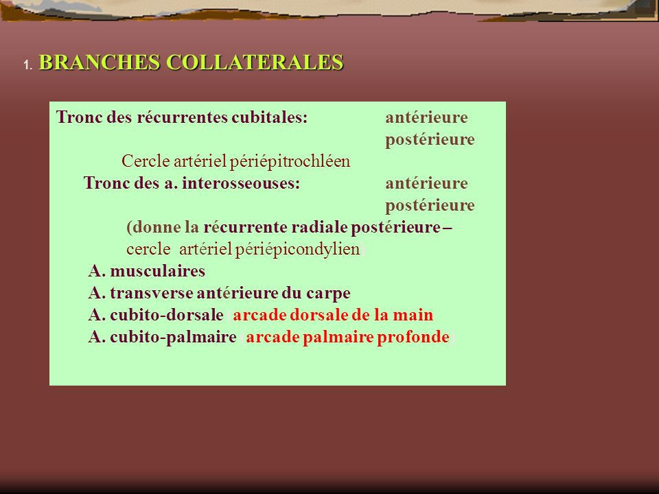 BRANCHES COLLATERALES 1. BRANCHES COLLATERALES Tronc des récurrentes cubitales: antérieure postérieure Cercle artériel périépitrochléen Tronc des a. i