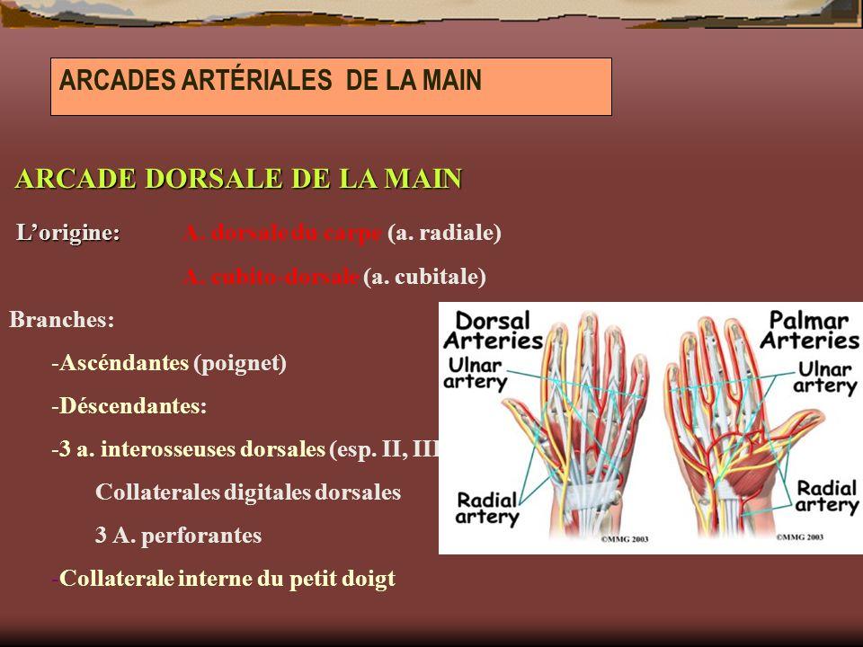 ARCADES ARTÉRIALES DE LA MAIN ARCADE DORSALE DE LA MAIN ARCADE DORSALE DE LA MAIN Lorigine: Lorigine: A. dorsale du carpe (a. radiale) A. cubito-dorsa