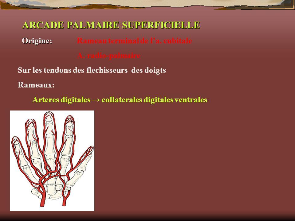 ARCADE PALMAIRE SUPERFICIELLE Origine: Origine: Rameau terminal de la. cubitale A. radio-palmaire Sur les tendons des flechisseurs des doigts Rameaux: