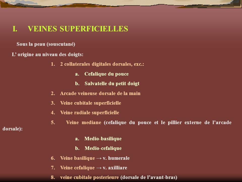 I. VEINES SUPERFICIELLES Sous la peau (souscutané) L origine au niveau des doigts: 1. 2 collaterales digitales dorsales, exc.: a. Cefalique du pouce b