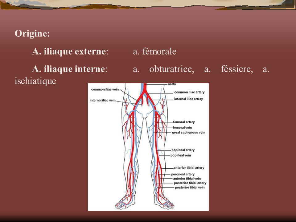 Origine: A. iliaque externe:a. fémorale A. iliaque interne:a. obturatrice, a. féssiere, a. ischiatique