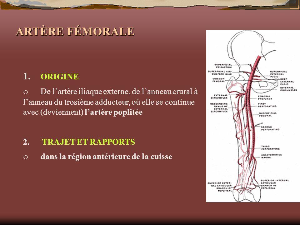 ARTÈRE FÉMORALE 1. ORIGINE o De lartère iliaque externe, de lanneau crural à lanneau du trosième adducteur, où elle se continue avec (deviennent) lart