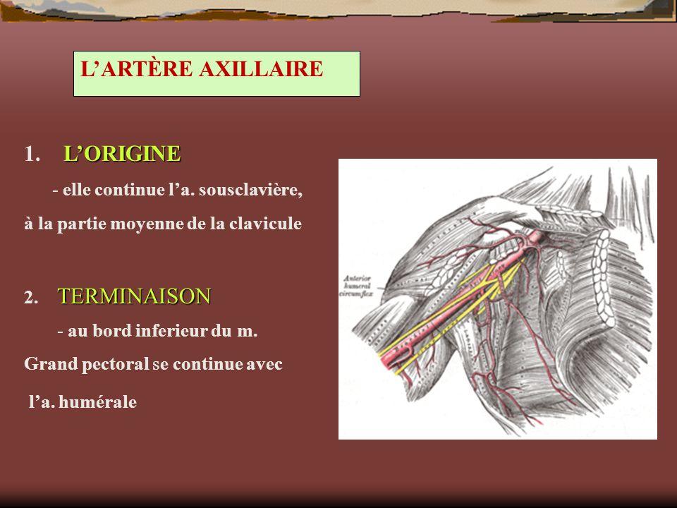 LARTÈRE AXILLAIRE LORIGINE 1. LORIGINE - elle continue la. sousclavière, à la partie moyenne de la clavicule TERMINAISON 2. TERMINAISON - au bord infe