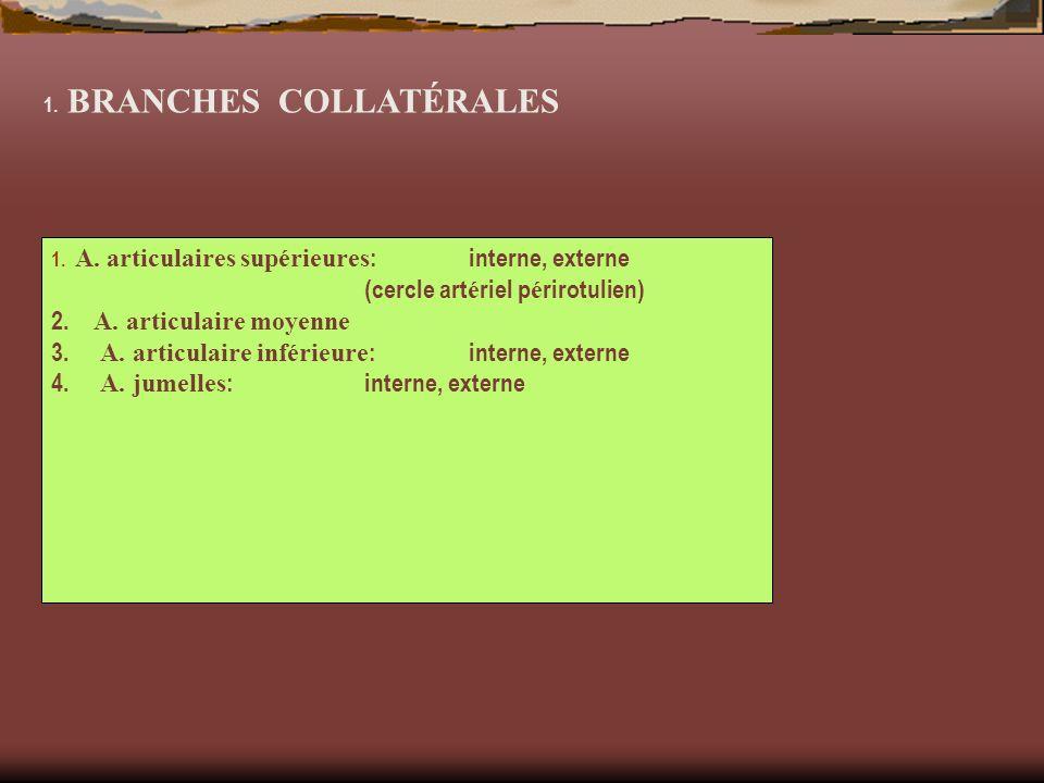 1. BRANCHES COLLATÉRALES 1. A. articulaires supérieures :interne, externe (cercle art é riel p é rirotulien) 2. A. articulaire moyenne 3. A. articulai