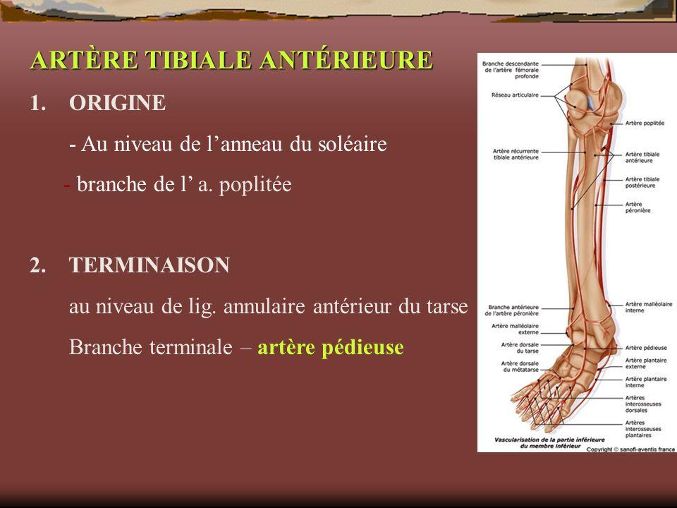ARTÈRE TIBIALE ANTÉRIEURE 1. ORIGINE - Au niveau de lanneau du soléaire - branche de l a. poplitée 2. TERMINAISON au niveau de lig. annulaire antérieu