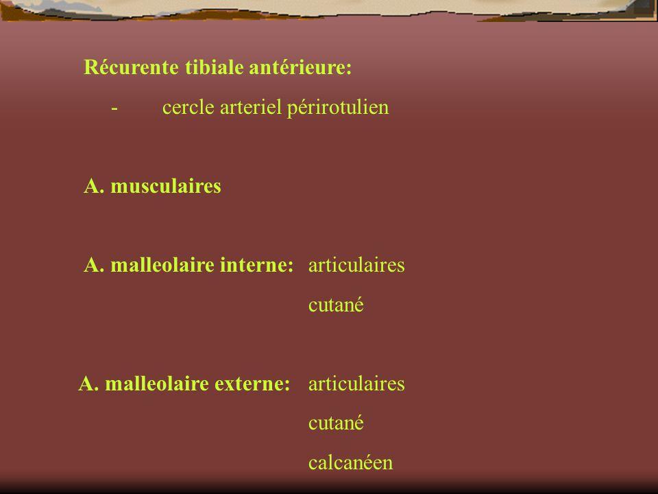 Récurente tibiale antérieure: - cercle arteriel périrotulien A. musculaires A. malleolaire interne:articulaires cutané A. malleolaire externe:articula