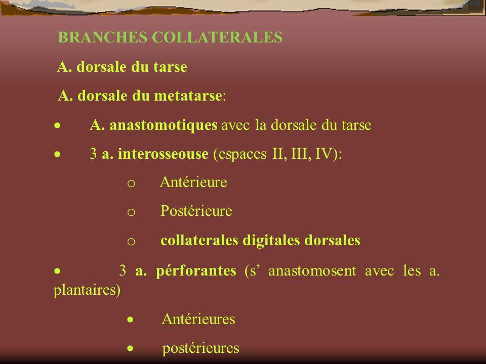 BRANCHES COLLATERALES A. dorsale du tarse A. dorsale du metatarse: A. anastomotiques avec la dorsale du tarse 3 a. interosseouse (espaces II, III, IV)