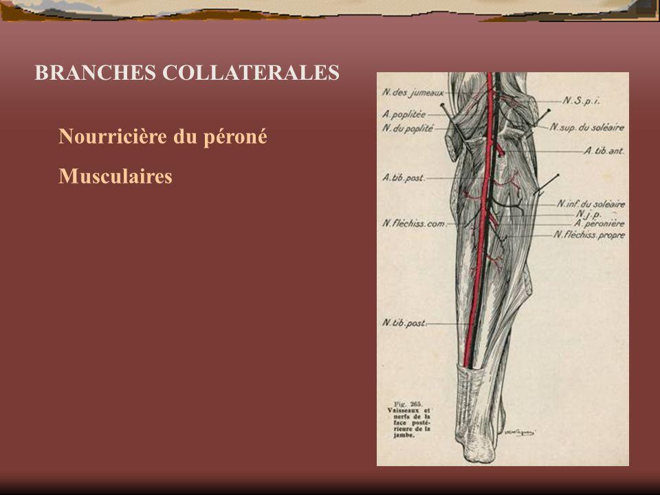 BRANCHES COLLATERALES Nourricière du péroné Musculaires