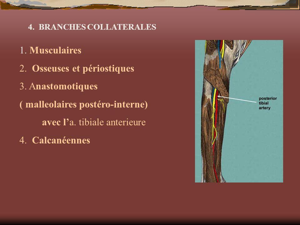 4. BRANCHES COLLATERALES 1. Musculaires 2. Osseuses et périostiques 3. Anastomotiques ( malleolaires postéro-interne) avec la. tibiale anterieure 4. C