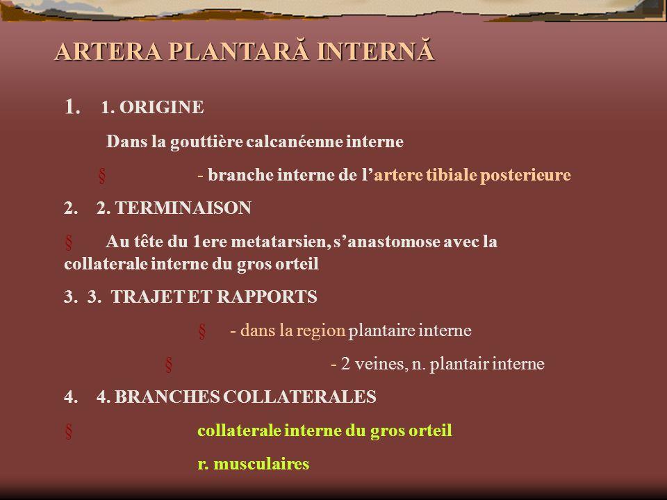 ARTERA PLANTARĂ INTERNĂ 1. 1. ORIGINE Dans la gouttière calcanéenne interne - branche interne de lartere tibiale posterieure 2. 2. TERMINAISON Au tête