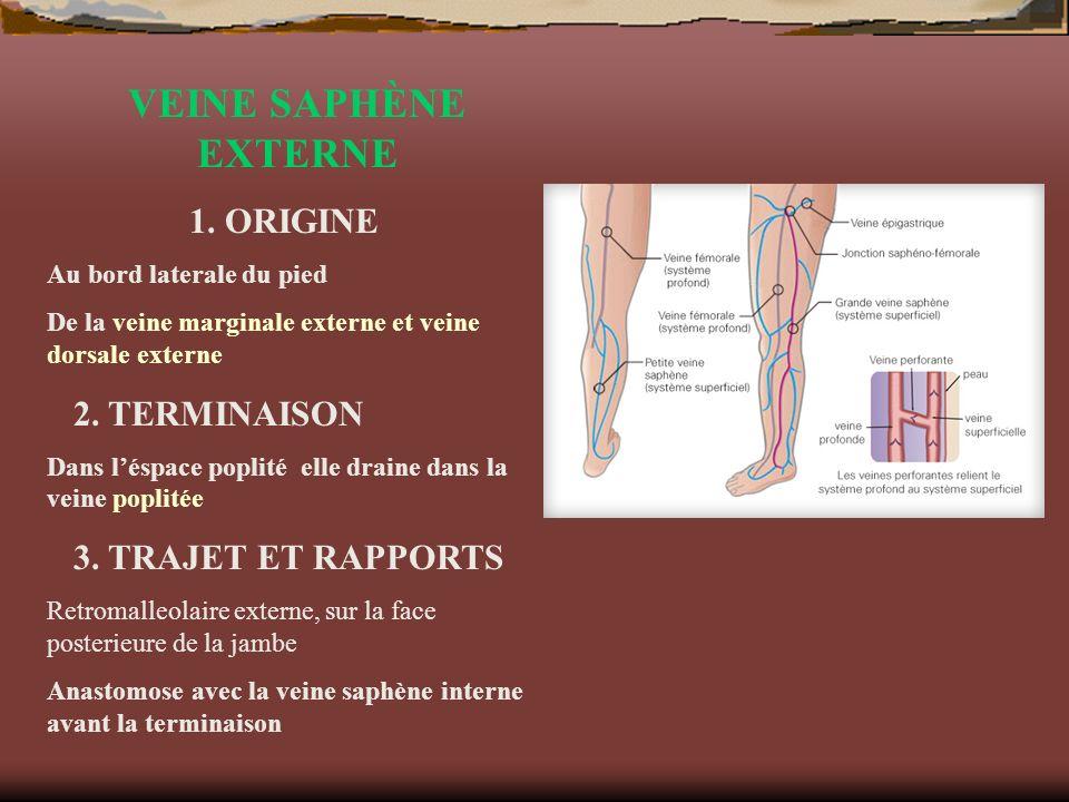 VEINE SAPHÈNE EXTERNE 1. ORIGINE Au bord laterale du pied De la veine marginale externe et veine dorsale externe 2. TERMINAISON Dans léspace poplité e