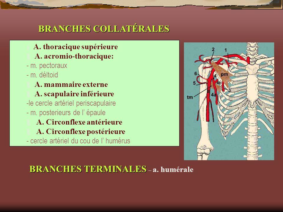 BRANCHES COLLATÉRALES A. thoracique supérieure A. acromio-thoracique: - m. pectoraux - m. déltoid A. mammaire externe A. scapulaire inférieure -le cer