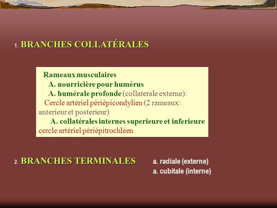 BRANCHES COLLATÉRALES 1. BRANCHES COLLATÉRALES BRANCHES TERMINALES 2. BRANCHES TERMINALES a. radiale (externe) a. cubitale (interne) Rameaux musculair