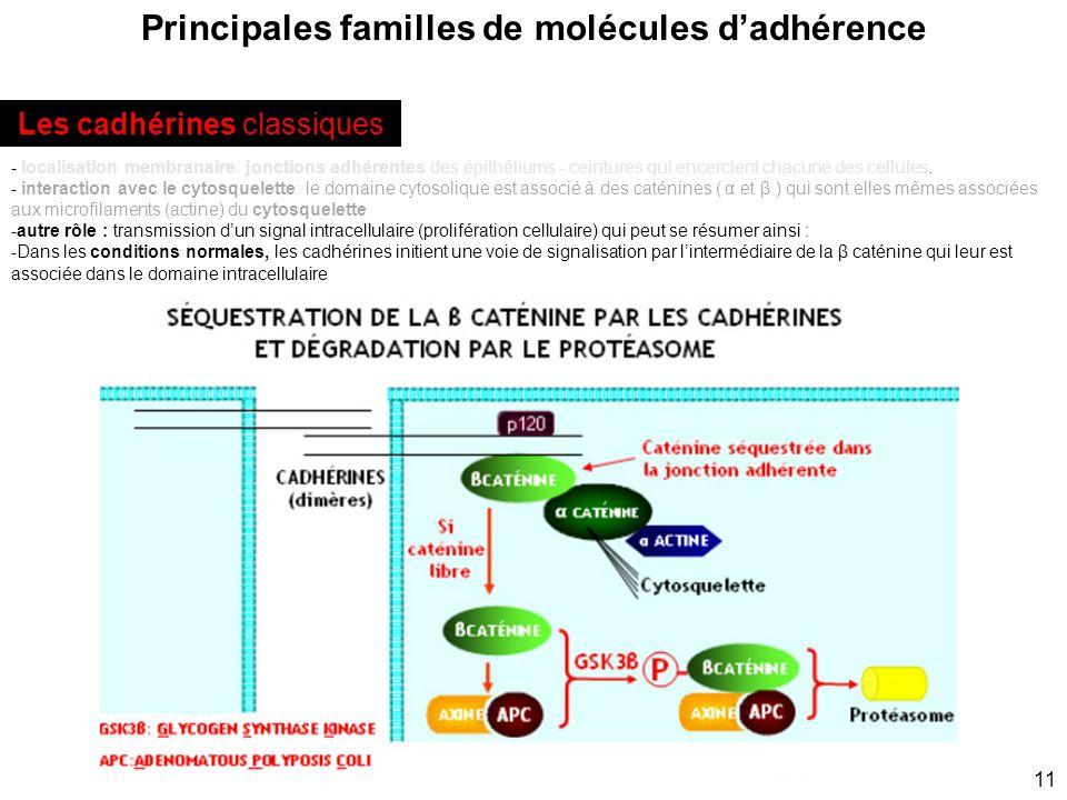 11 Principales familles de molécules dadhérence - localisation membranaire: jonctions adhérentes des épithéliums - ceintures qui encerclent chacune de