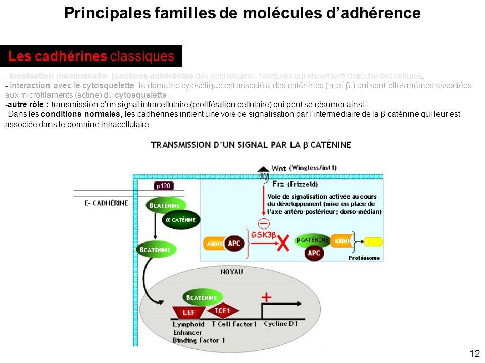 12 Principales familles de molécules dadhérence - localisation membranaire: jonctions adhérentes des épithéliums - ceintures qui encerclent chacune de