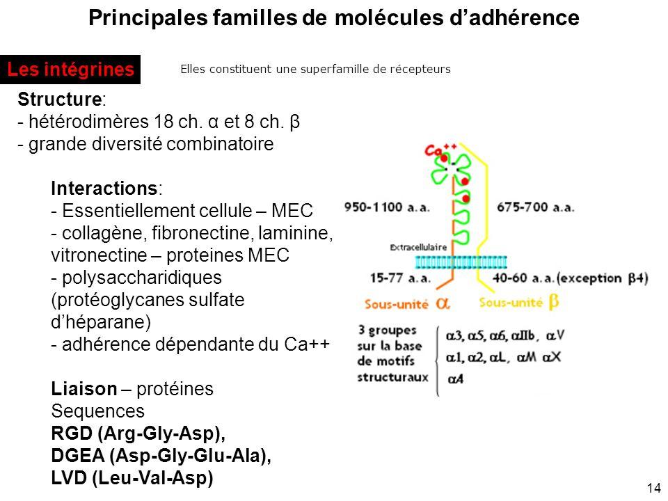 14 Principales familles de molécules dadhérence Elles constituent une superfamille de récepteurs Les intégrines Structure: - hétérodimères 18 ch. α et