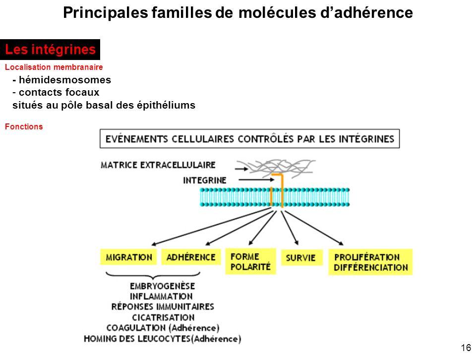 16 Principales familles de molécules dadhérence Localisation membranaire Les intégrines - hémidesmosomes - contacts focaux situés au pôle basal des ép
