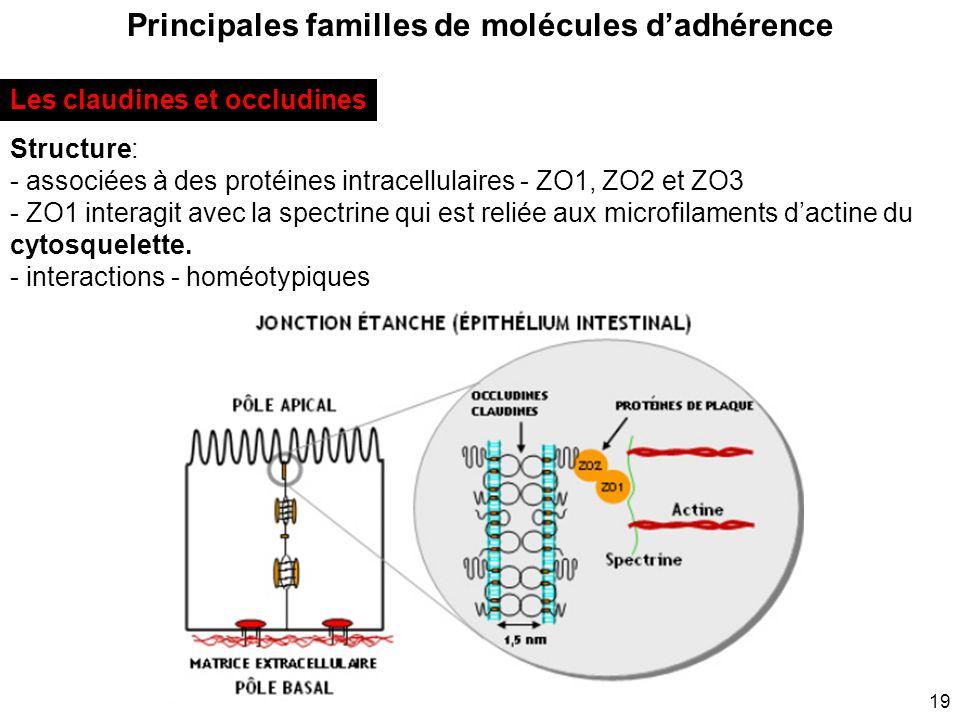 19 Principales familles de molécules dadhérence Les claudines et occludines Structure: - associées à des protéines intracellulaires - ZO1, ZO2 et ZO3