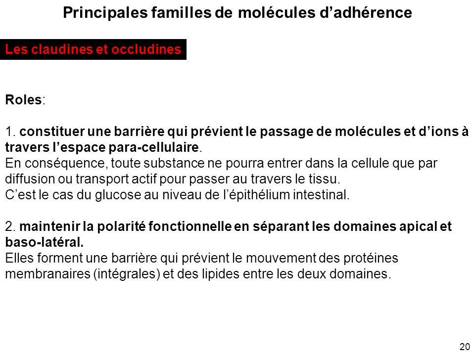 20 Principales familles de molécules dadhérence Les claudines et occludines Roles: 1. constituer une barrière qui prévient le passage de molécules et