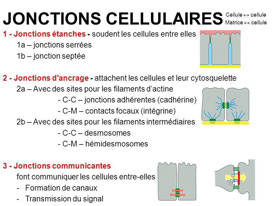 JONCTIONS CELLULAIRES Cellule cellule Matrice cellule 1 - Jonctions étanches - soudent les cellules entre elles 1a – jonctions serrées 1b – jonction s