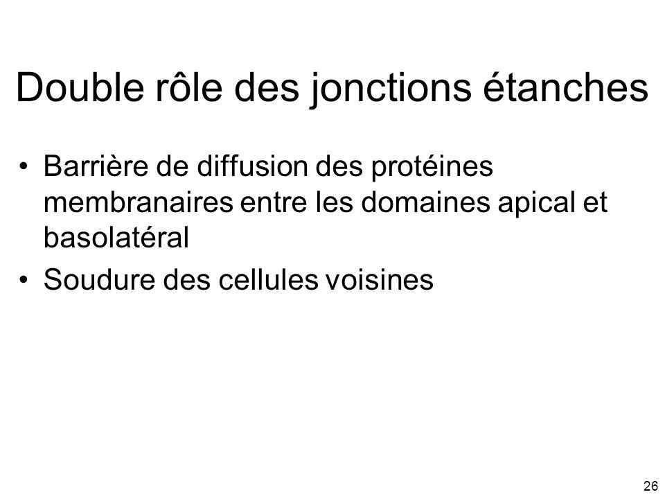 26 Double rôle des jonctions étanches Barrière de diffusion des protéines membranaires entre les domaines apical et basolatéral Soudure des cellules v