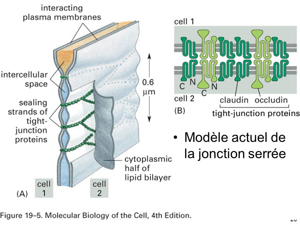 28 Fig 19-5 Modèle actuel de la jonction serrée