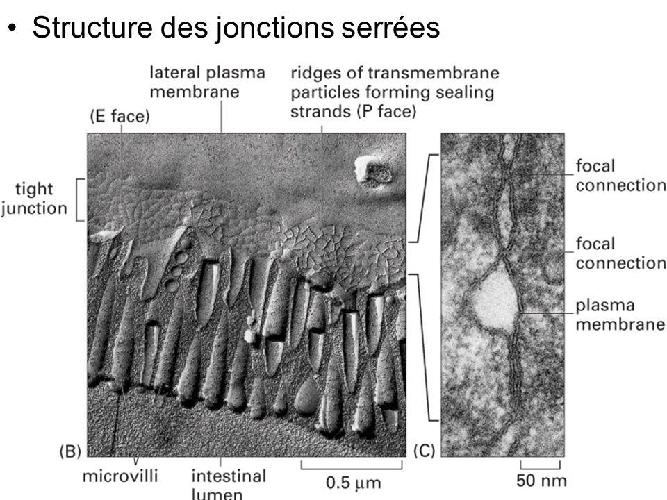 29 Fig 19-4(B) Structure des jonctions serrées
