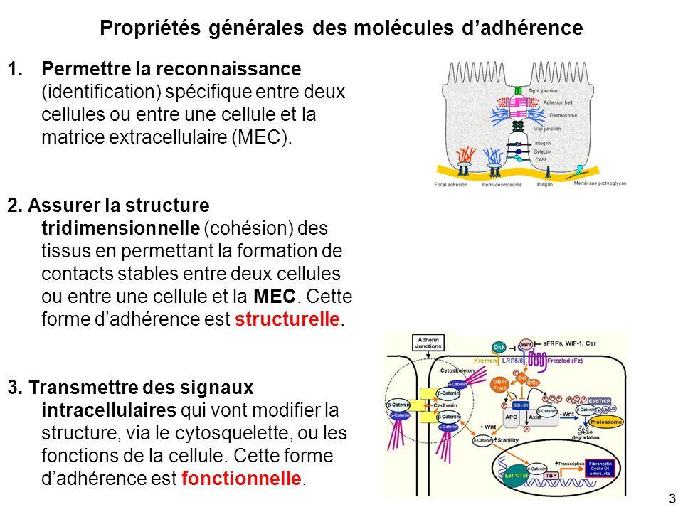 3 Propriétés générales des molécules dadhérence 1.Permettre la reconnaissance (identification) spécifique entre deux cellules ou entre une cellule et