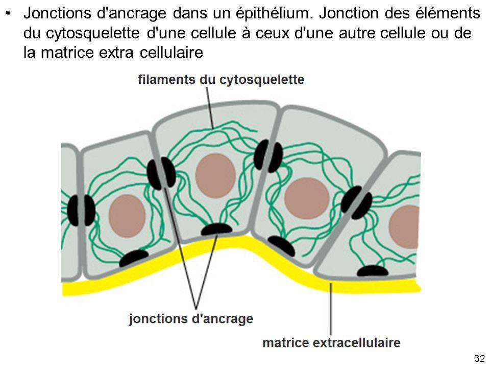 32 Jonctions d'ancrage dans un épithélium. Jonction des éléments du cytosquelette d'une cellule à ceux d'une autre cellule ou de la matrice extra cell