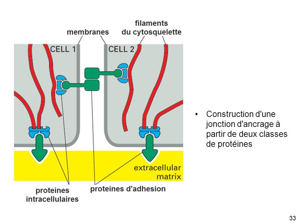33 Construction d'une jonction d'ancrage à partir de deux classes de protéines