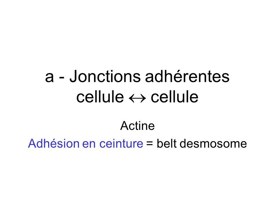 a - Jonctions adhérentes cellule cellule Actine Adhésion en ceinture = belt desmosome