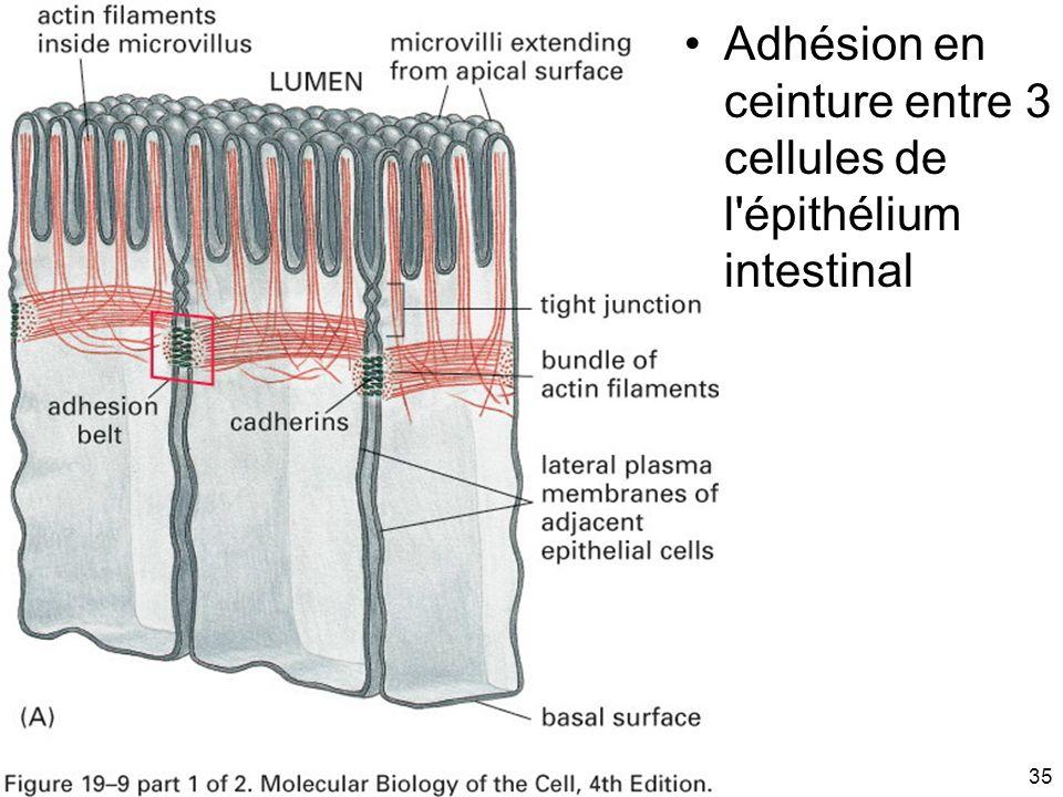 35 Fig 19-9(A) Adhésion en ceinture entre 3 cellules de l'épithélium intestinal