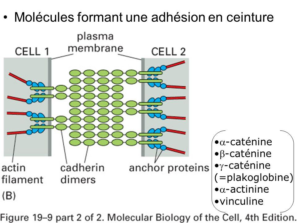 36 Fig 19-9(B) Molécules formant une adhésion en ceinture -caténine -caténine (=plakoglobine) -actinine vinculine