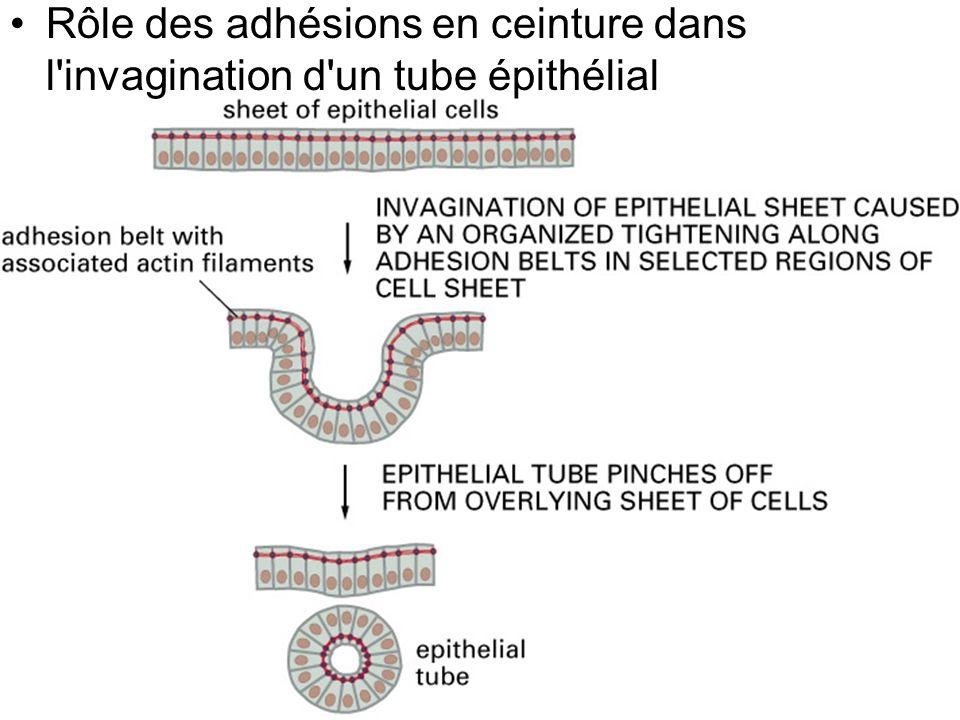 37 Fig 19-10 Rôle des adhésions en ceinture dans l'invagination d'un tube épithélial