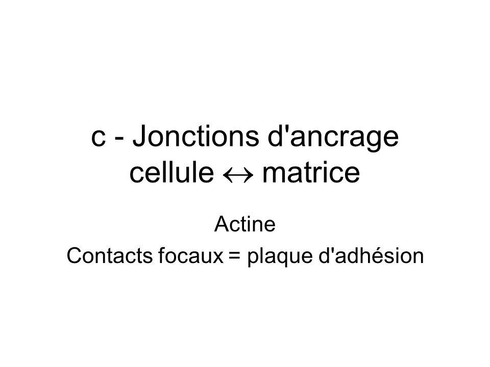 c - Jonctions d'ancrage cellule matrice Actine Contacts focaux = plaque d'adhésion