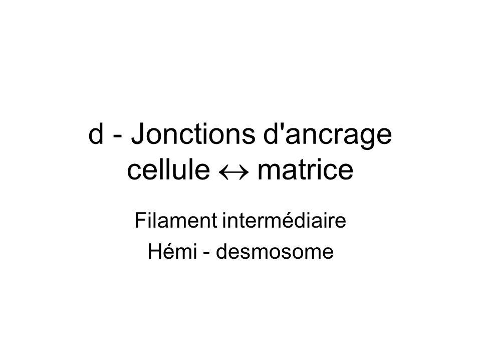 d - Jonctions d'ancrage cellule matrice Filament intermédiaire Hémi - desmosome