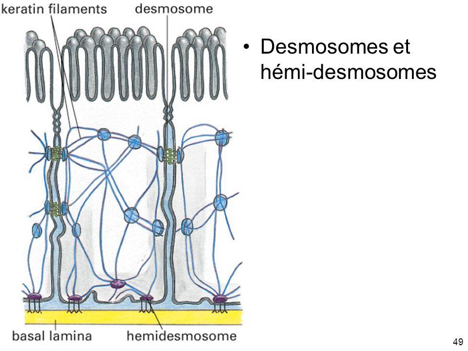 49 Fig 19-13 Desmosomes et hémi-desmosomes